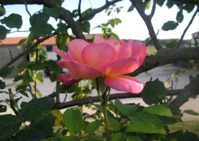 Ferme de la Casole_Rose